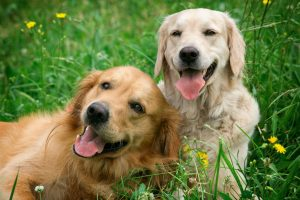 -Portrait-of-two-young-dogs-pla-