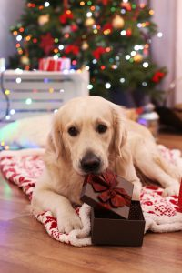 Big Labrador lying on plaid on wooden floor and Christmas tree background